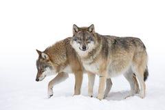 2 серых волка Стоковое фото RF