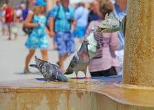 2 серых голубя выпивают воду в фонтане в лете Стоковое Изображение RF
