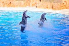 2 серых дельфина делая фокусы Стоковое Изображение