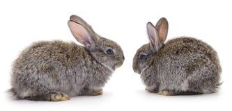 2 серых изолированного кролика стоковые изображения