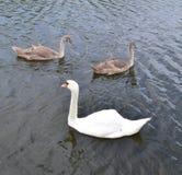 2 серых и одних белых плавать лебедя Стоковое фото RF