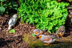 2 серых птицы с оранжевыми клювами и белых точки на их крылах a Стоковые Изображения RF