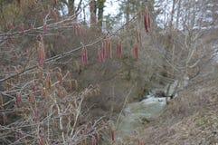 Серьги дерева весной Стоковое Изображение RF