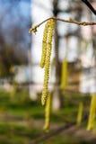 Серьги кустарника ольшаника в дворе Стоковые Фото