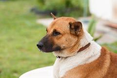 Серьезная тайская собака Стоковые Изображения RF