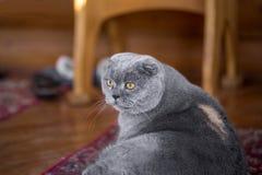 Серьезные и задумчивые голубые Scottish складывают кота сидя на крылечке дома и смотря где-то стоковое изображение rf