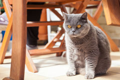 Серьезный великобританский кот Стоковое Изображение