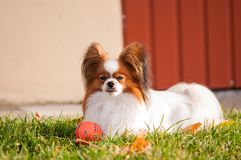 Серьезный взгляд собаки papillon стоковая фотография rf