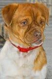 Серьезный наблюдать собаки Стоковое Фото