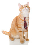 Серьезный оранжевый кот с связью Стоковое Фото