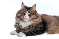 Серьезный сибирский кот изолированный на белой предпосылке Стоковые Фотографии RF