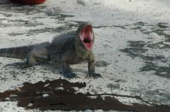 Сердитая игуана Стоковое Изображение RF