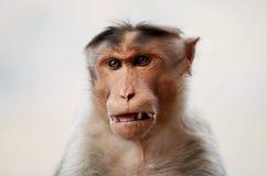 Сердитая обезьяна Стоковое Изображение