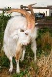 Сердитая он-коза Стоковое Изображение