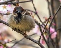 Сердитая птица воробья на ветви дерева Сакуры весны Стоковые Изображения RF