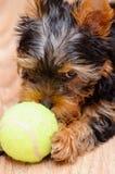 Сердитая собака Стоковая Фотография RF