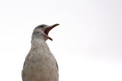 Сердитая чайка выкрикивая на мире стоковое изображение rf