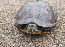 Сердитая черепаха, черепаха слайдера, слайдер пруда, scripta Trachemys Стоковое Изображение RF
