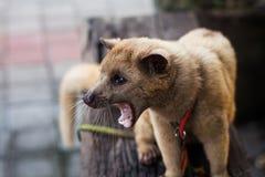 Сердитое luwak Стоковое Изображение RF