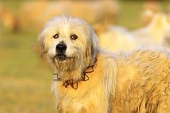 сердитые овцы собаки Стоковая Фотография RF