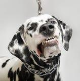 Сердитые оскалы Далматина собаки стоковая фотография