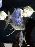 Сердитые рыбы Стоковое фото RF