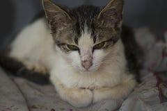 Сердитый или сонный кот сидит на его кровати стоковая фотография rf