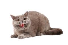 сердитый кот Стоковые Изображения