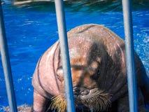 Сердитый морж Стоковая Фотография RF