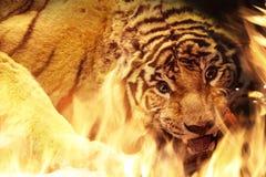 Сердитый тигр около пожара Бесплатная Иллюстрация