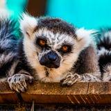 сердитый lemur стоковое изображение rf