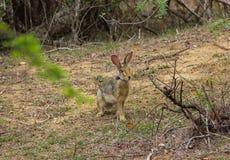 Сер-коричневый заяц сидит в саванне стоковая фотография rf
