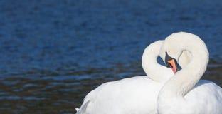 Сердце лебедя Стоковые Изображения RF