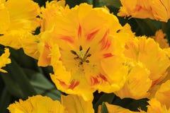 Сердце желтого тюльпана Стоковая Фотография