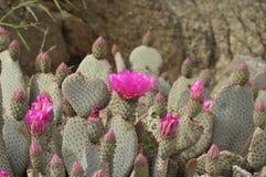 Сердце кактуса с розовыми цветками Стоковые Изображения RF