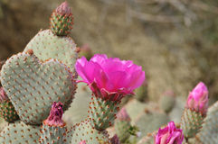 Сердце кактуса с розовыми цветками Стоковое Изображение RF