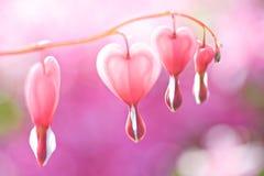 сердце кровотечения Стоковые Фото