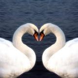 Сердце лебедя Стоковое Изображение