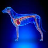 Сердце собаки - анатомия циркуляторной системы стоковые изображения