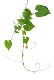 Сердце сформировало лозу зеленых листьев одичалую с ветвями и усиками i Стоковые Фотографии RF