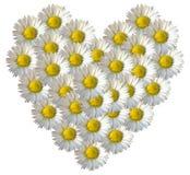 Сердце цветка маргаритки полное Стоковое Изображение RF