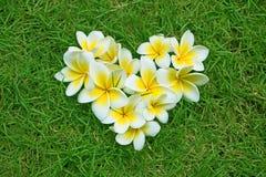 Сердце Plumeria Стоковая Фотография