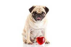 Сердце und собаки мопса изолированное на белой предпосылке с концепцией влюбленности Стоковая Фотография