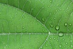 Сердц-leaved moonseed листья Стоковые Фото