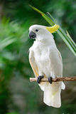 Сер-crested какаду Стоковое Фото