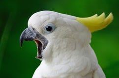 Сер-crested какаду Стоковое Изображение