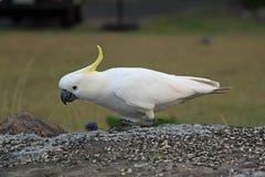 Сер-crested какаду Стоковая Фотография