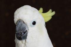 Сер-crested какаду, galerita Cacatua Стоковая Фотография RF