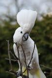 Сер-crested танцы попугая какаду на некотором дереве Стоковые Изображения