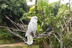 Сер-crested galerita Cacatua какаду и какаду p ладони Стоковые Изображения